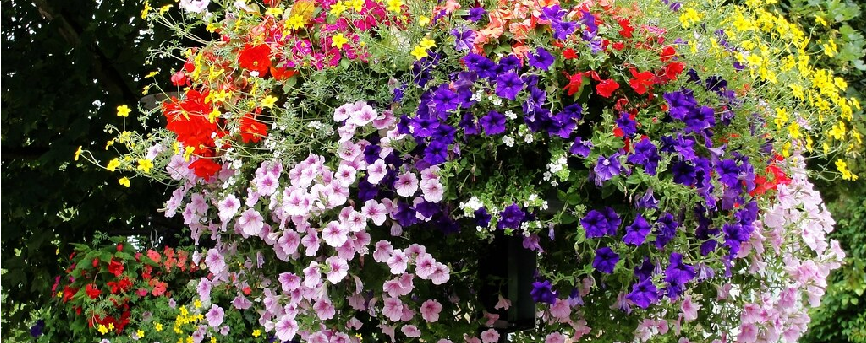 Hanging Basket with Purple and Pink flowers